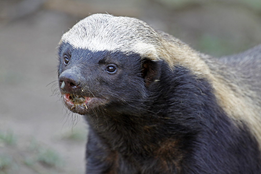 photoblog image Honey Badger