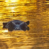 On golden pond - hippo