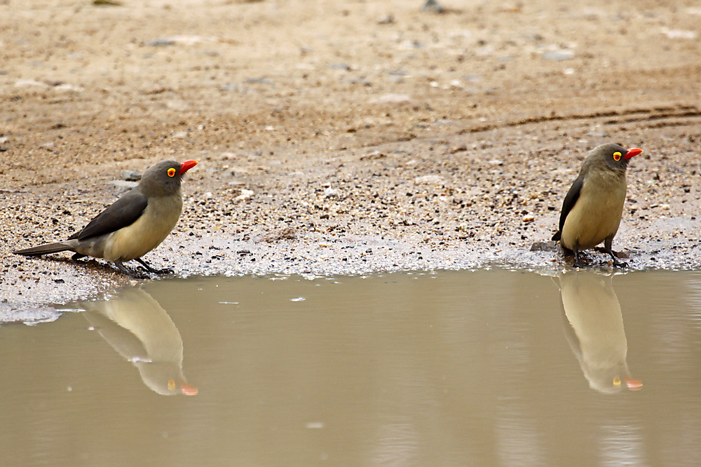 photoblog image Red-billed oxpeckers