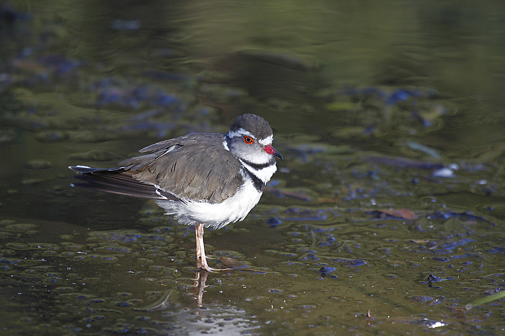 photoblog image Three-banded plover