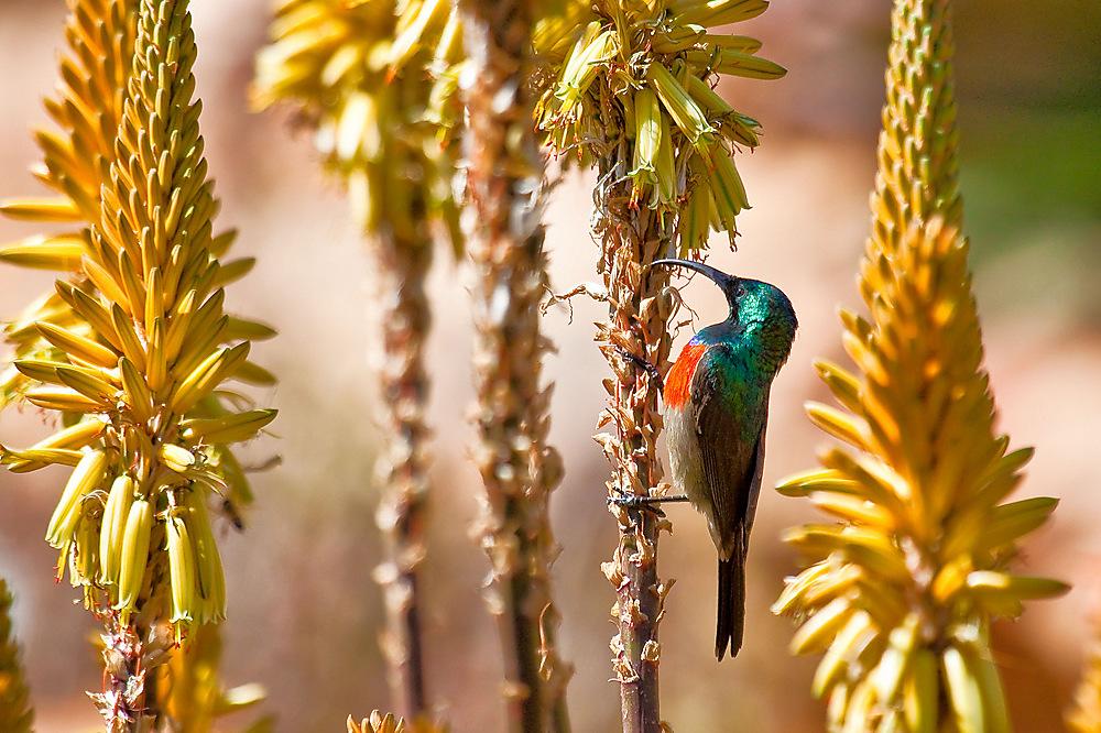 photoblog image Greater double-collared sunbird